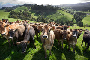 NZ Dairy Cows